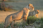 Lioness standing on a rocky outcrop or hill, looking forwards