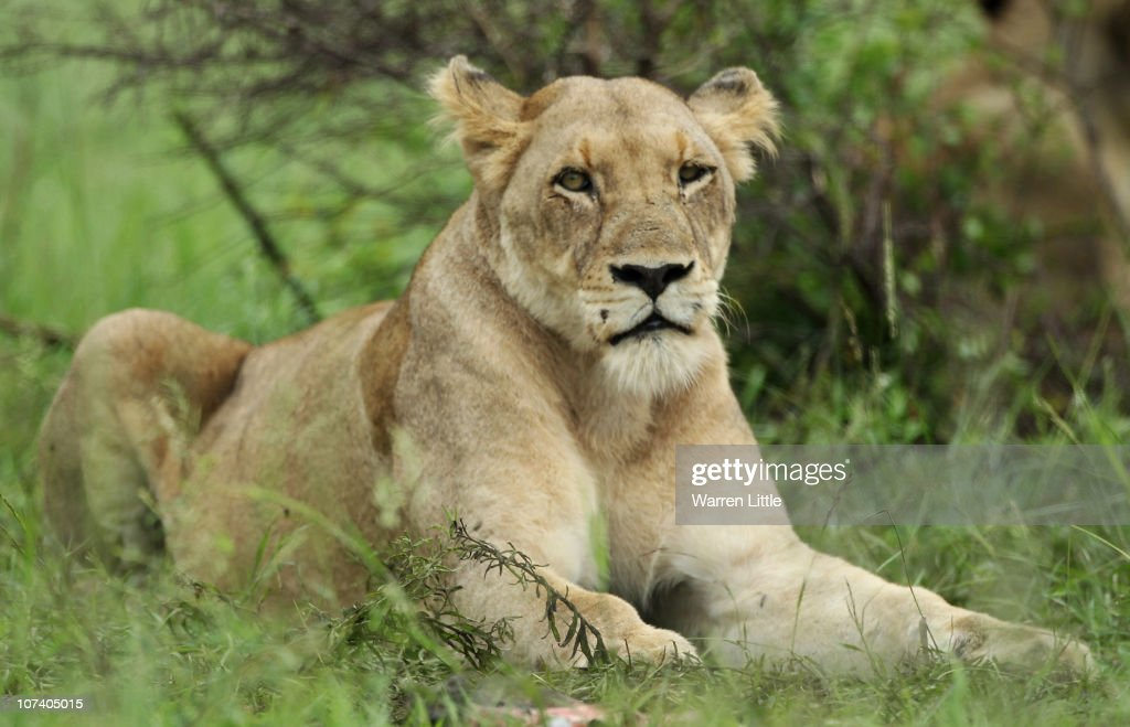 A lioness waits in the grass in the Kruger National Park in Malelane, South Africa.