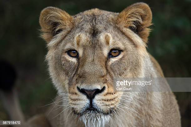 A lioness waits to be fed by senior keeper Glynn Hennessy at ZSL London Zoo on August 10 2016 in London England Today marks World Lion Day which...