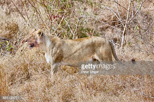 Lioness walking and surveying it's surroundings