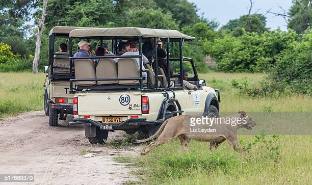 Lioness walking behind safari vehicles; Chobe_NP, Botswana, Africa