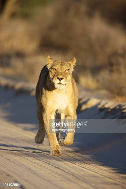 A Lioness walking towards the camera, Kgalagadi Transfrontier Park, Northern Cape Province, South Africa