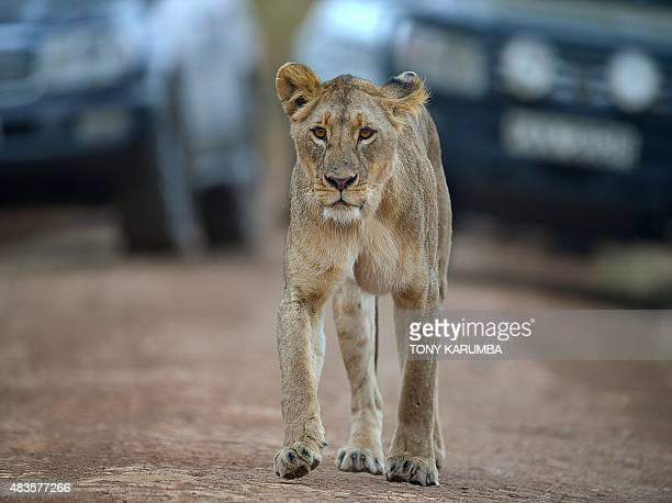 A lioness walks up a road in front of tourist vehicles at the Nairobi national park on August 10 2015 With all the attention on the cruel slaughter...