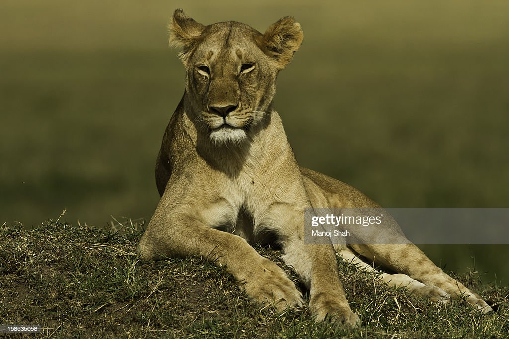 lioness watching her cubs play nearby : Stock Photo