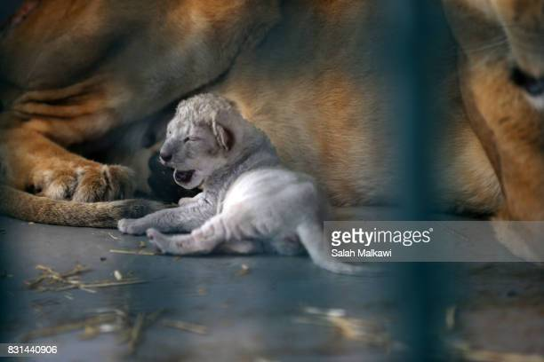 AUGUST 14 A lioness who arrived from an Aleppo zoo in northern Syria feeds and cuddles her newborn cub in the AlMa'wa wildlife reserve on August 14...
