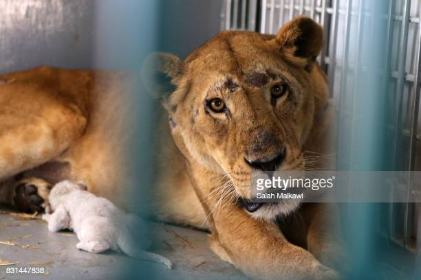 Lioness who arrived from an Aleppo zoo in northern Syria feeds up and cuddles her newborn cub in the AlMa'wa wildlife reserve near Souf on August 14...