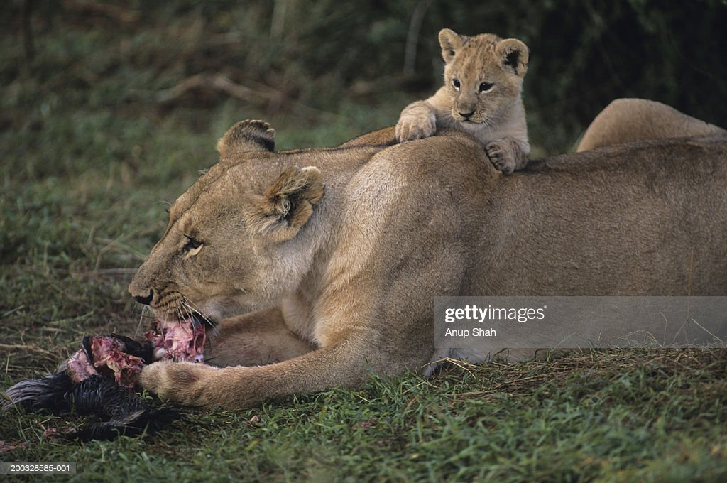 Lioness (Panthera leo) with cub on back, eating carrion, Kenya : Stock Photo