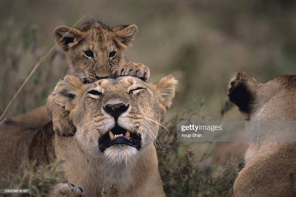 Lioness (Panthera leo) with cub on back, on grass savannah, Kenya : Stock Photo