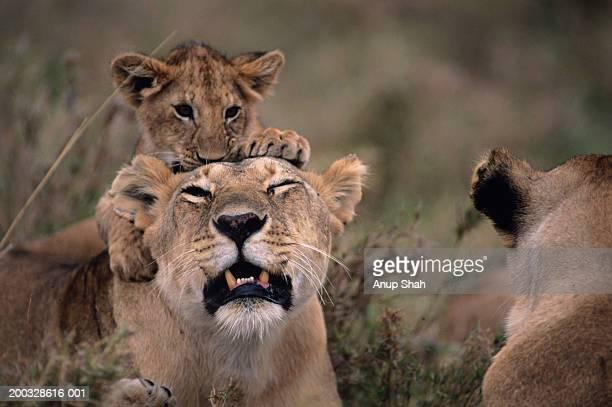 Lioness (Panthera leo) with cub on back, on grass savannah, Kenya