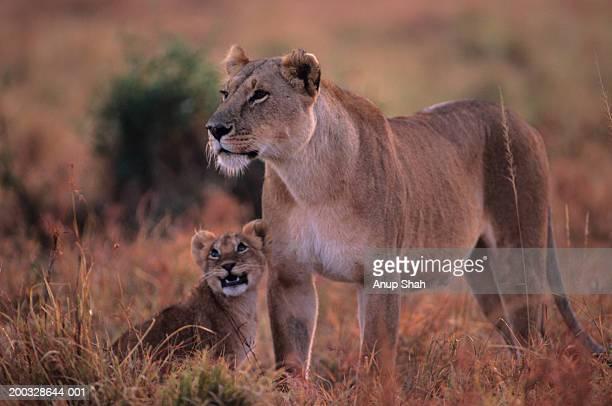 Lioness (Panthera leo) with cub, on grass savannah, Kenya