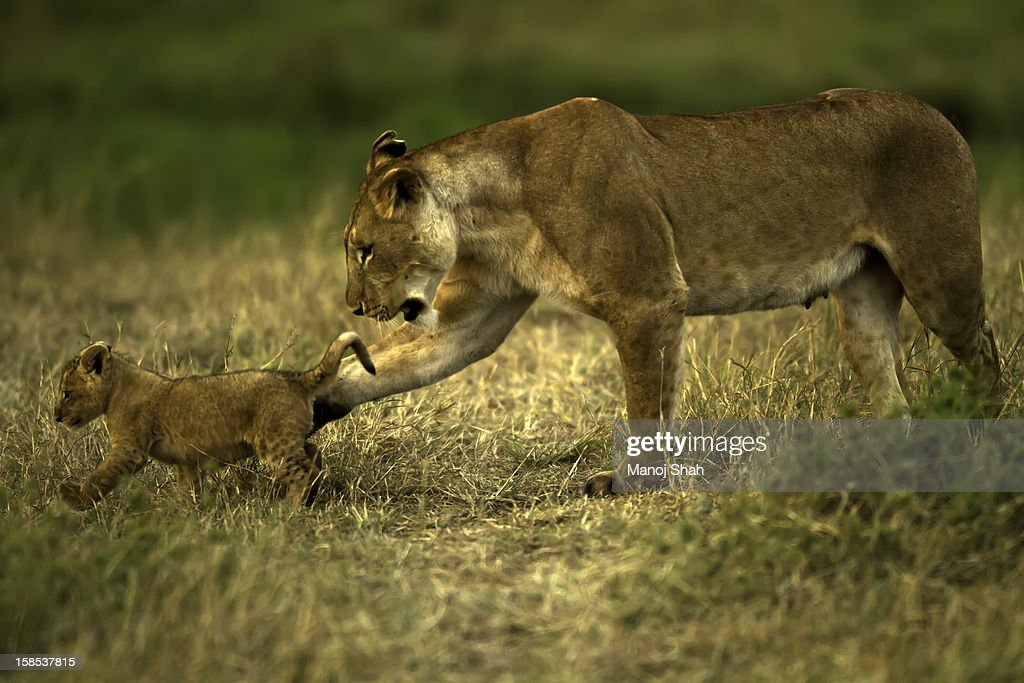 Lioness with cub : Stock Photo