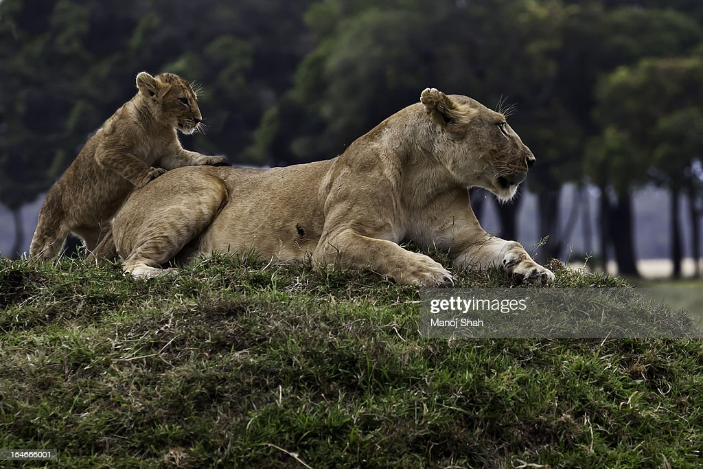 Lioness with cub sitting on a mound : Stock Photo