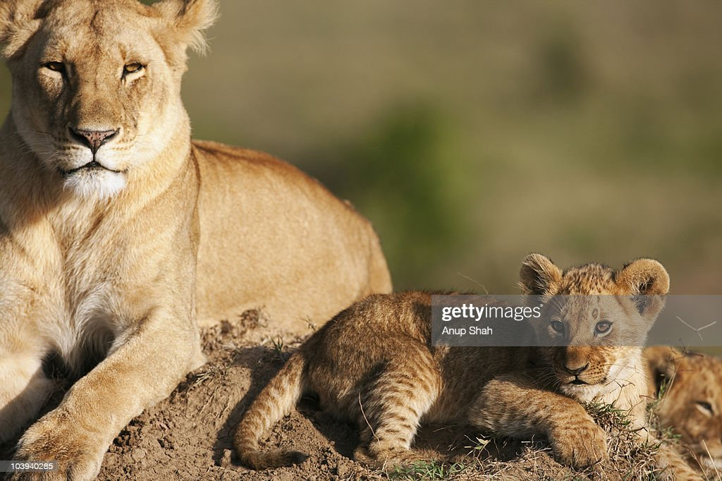 Lioness with cubs aged 6-9 months  : Stock Photo