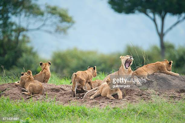 Lioness with cubs in the green plains of Masai Mara