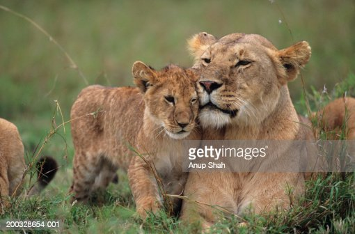 Lioness (Panthera leo) with cubs lying on grass, Kenya