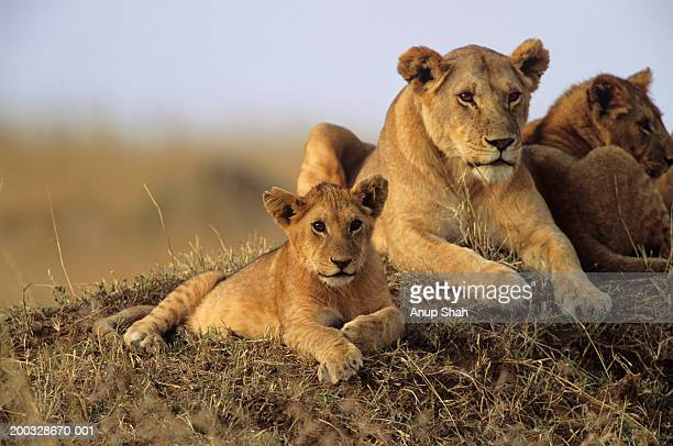 Lioness (Panthera eo) with cubs lying on grass, Kenya