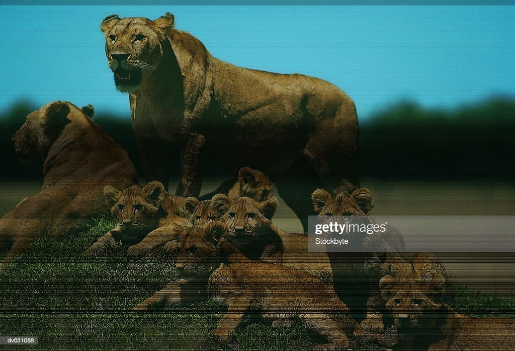 Lioness with cubs on small mound (Panthera Leo), Masai Maya, Kenya : Stock Photo