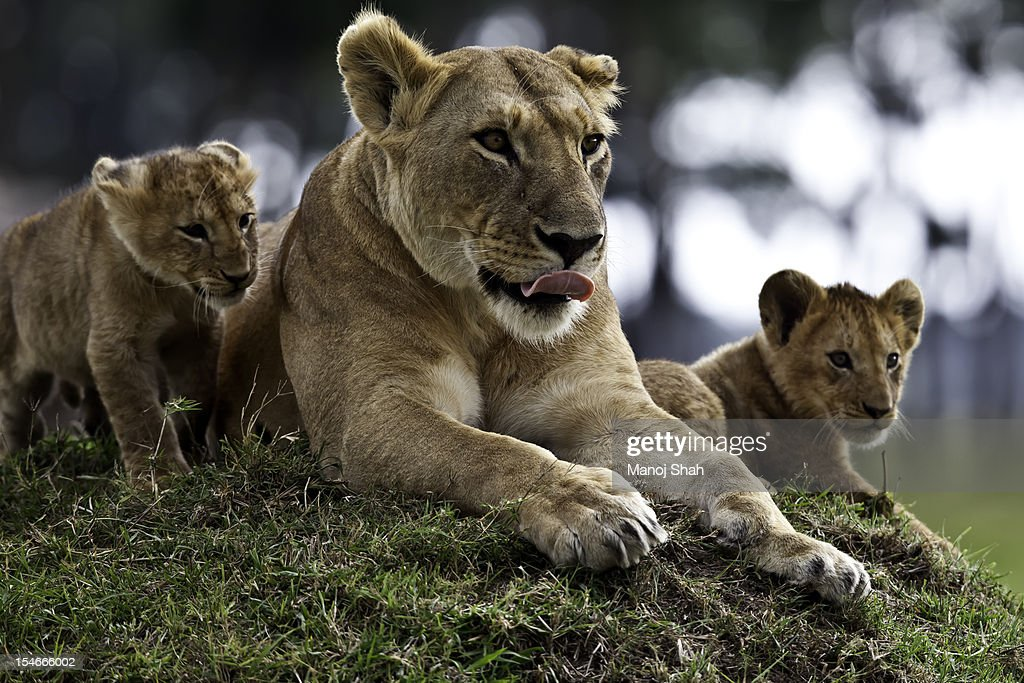 Lioness with cubs : Stock Photo