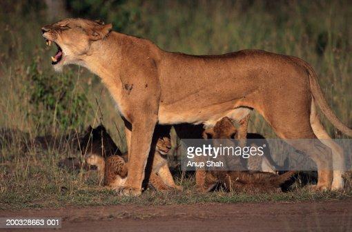 Lioness (Panthera leo) with cubs, snarling, Kenya