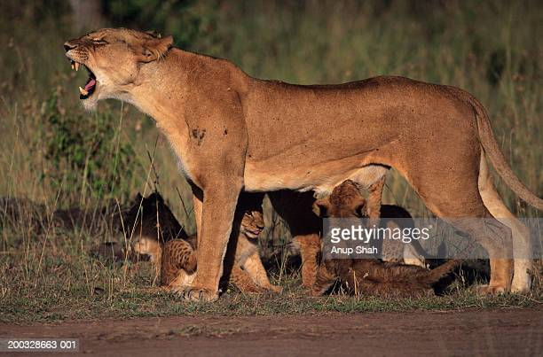 Lioness (Panthera leo) with cubs, snarling, Kenya