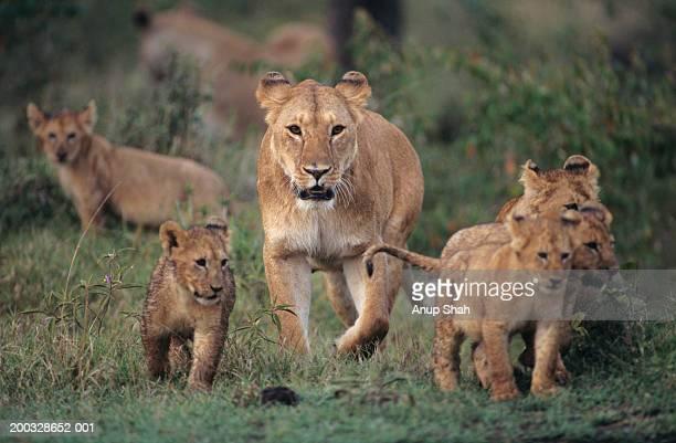Lioness (Panthera leo) with four cubs, Kenya