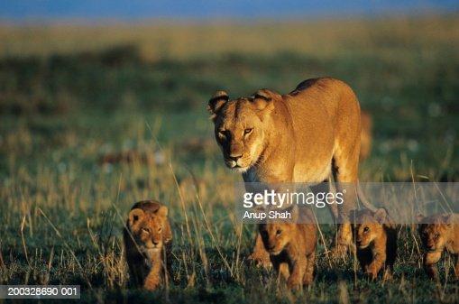 Lioness (Panthera leo) with four cubs, walking on savannah, Kenya
