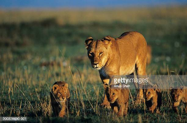 Lioness (Panthera leo) with four cubs, walking on savannah, Kenya