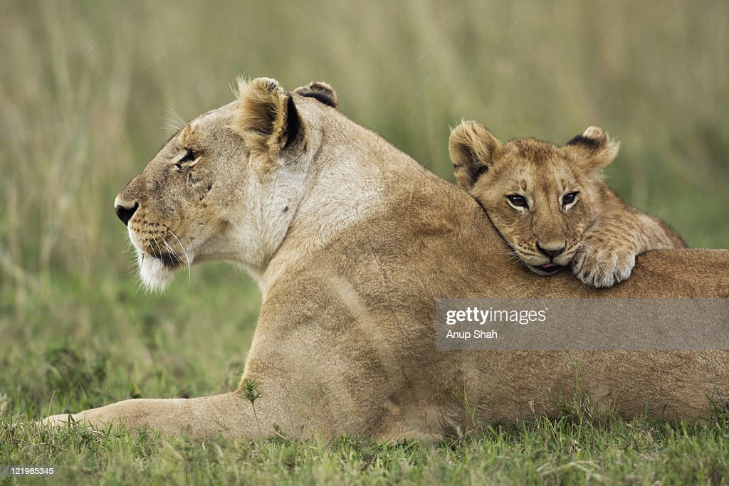 Lioness with playful cub aged 12-18 months : Stock Photo