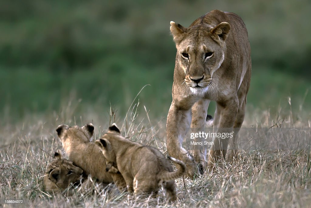 lioness with playing cubs : Stock Photo