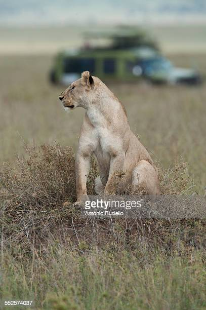 Lioness with safari truck behind