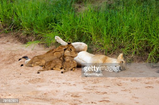 Lioness (Panthera leo) with suckling cubs in a forest, Motswari Game Reserve, Timbavati Private Game Reserve, Kruger National Park, Limpopo, South Africa : Stock Photo