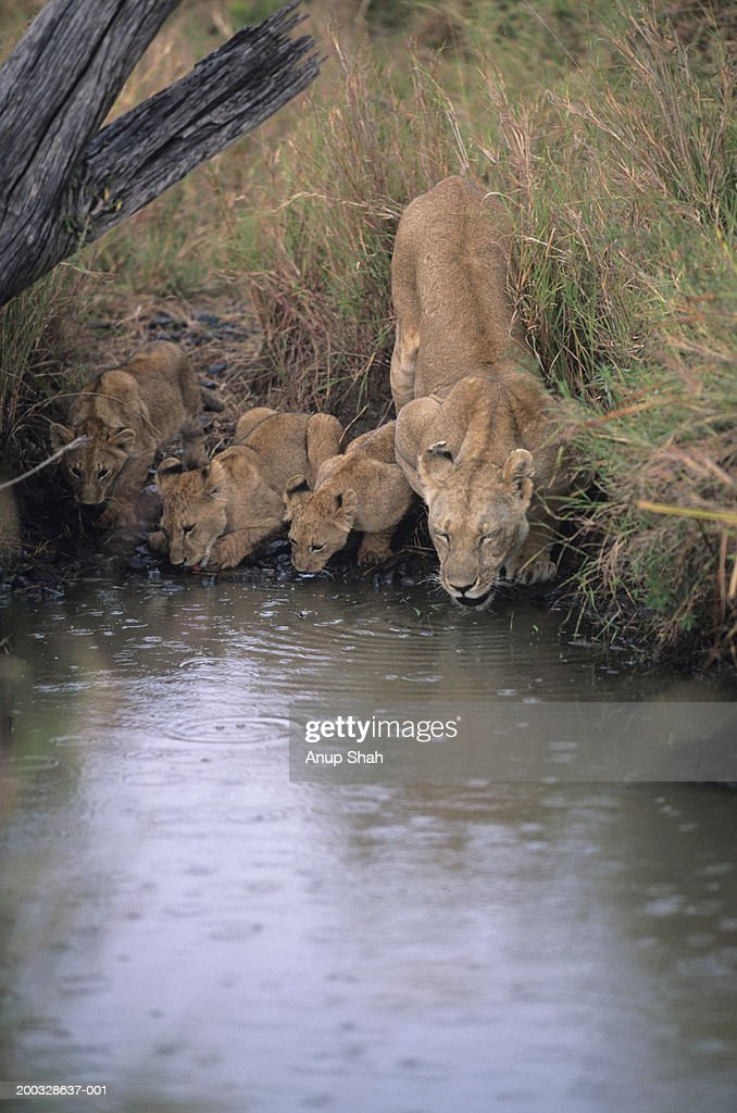 Lioness (Panthera leo) with three cubs, drinking at waterhole, Kenya