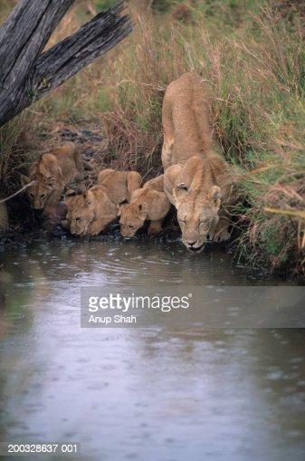 Lioness (Panthera leo) with three cubs, drinking at waterhole, Kenya