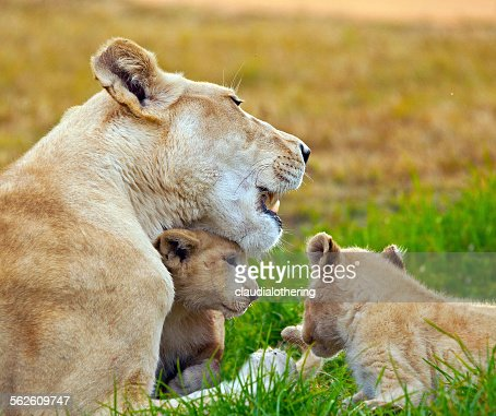 Lioness with cubs, South Africa