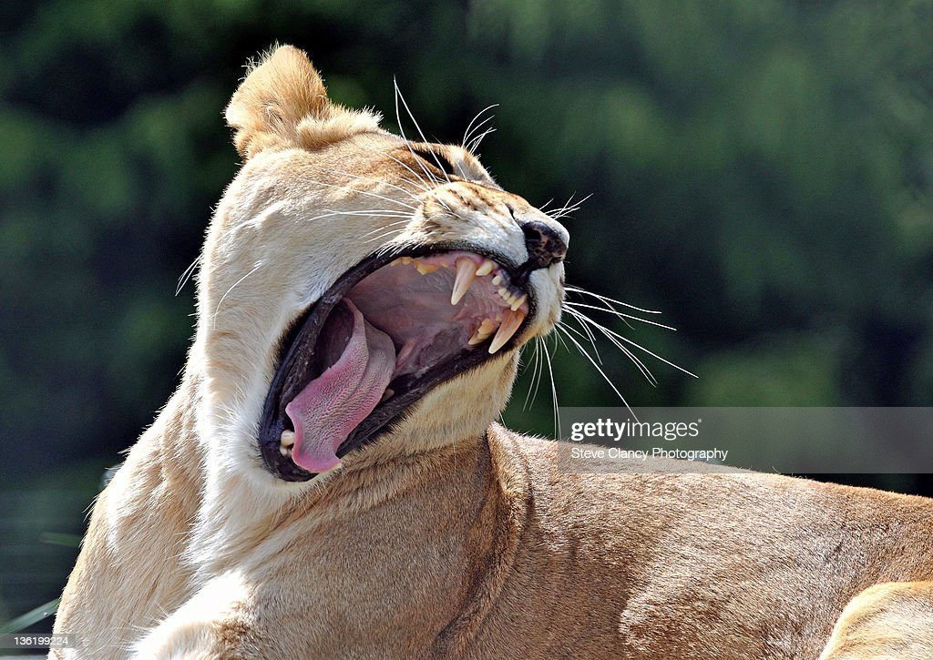 Lioness yawning in forest : Stock Photo