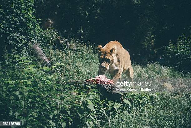 Lionesse approaching meat