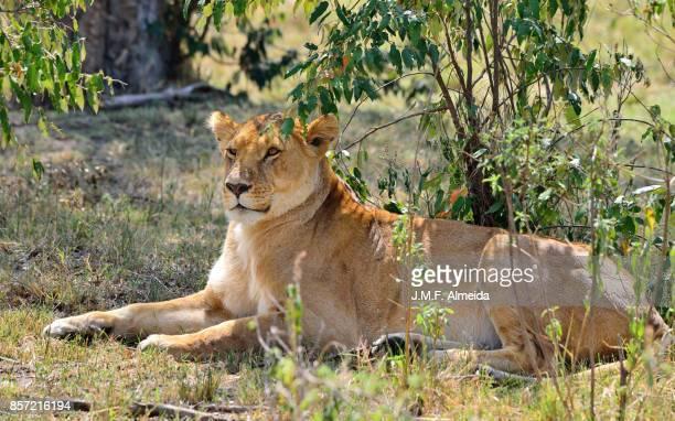 Lionesse  (Panthera leo nubica)