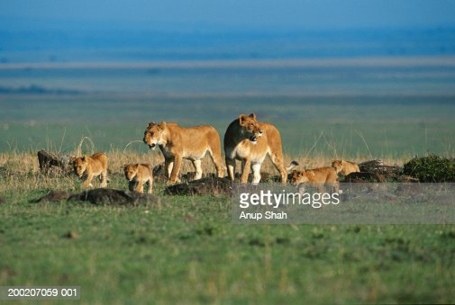 Lionesses and lion cubs (Panthera leo) on the move, Masai Mara, Kenya