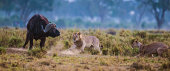 Lionesses attacking a buffalo