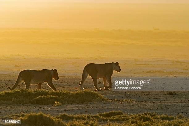 Lionesses (Panthera leo), Etosha National Park, Namibia, Africa