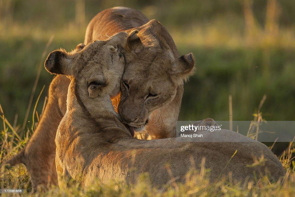 lionesses greeting : Stock Photo