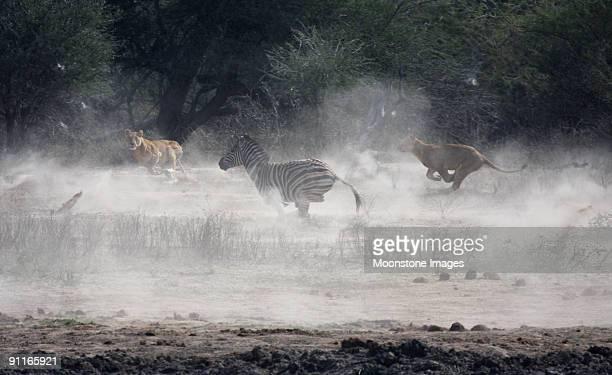 Lionesses hunt zebra in Kruger Park, South Africa
