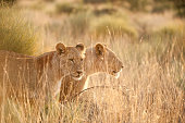Two lionesses standing among tall grass in beautiful morning light, southern Kalahari, South Africa
