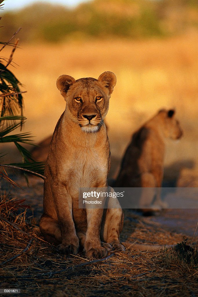 Lionesses (Panthera leo) in shade : Stock Photo