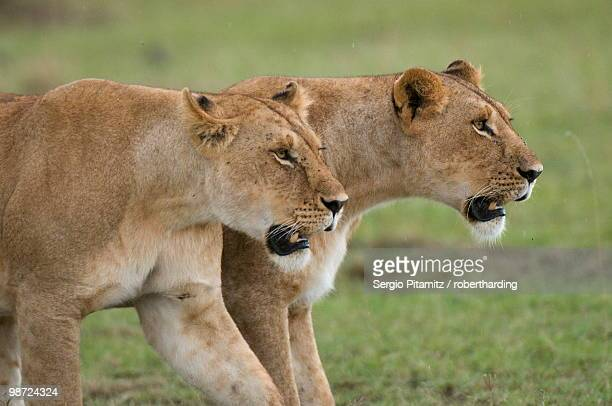 Lionesses (Panthera leo), Masai Mara National Reserve, Kenya, East Africa, Africa