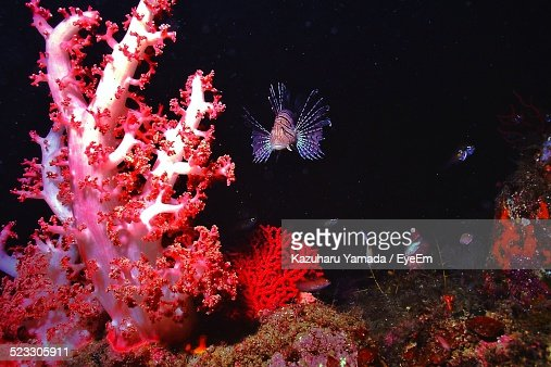 Lionfish Among Red Coral