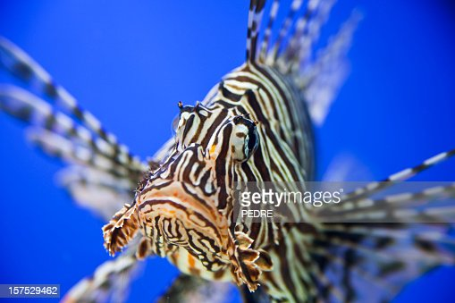 Lionfish close-up