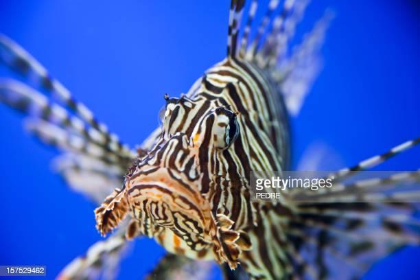 Rotfeuerfisch Nahaufnahme
