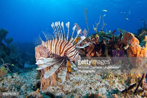Lionfish in caribbean sea.