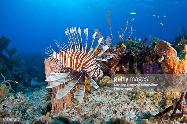 Lionfish in caribbean sea.